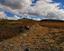 Red crops of blueberries and cranberries changed with white woven pillows lichens lead paths and rocky trails.