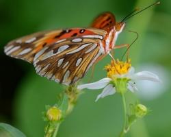 Krásny motýľ z ostrova Saint Vincent.