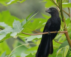 Interesting black bird with a large beak of the family Cuculidae inhabiting the Caribbean.