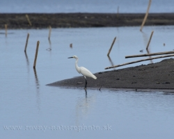 The Snowy Egret (Egretta thula) is a small white heron. It nests mainly in wetlands in the southwest United States and South America.