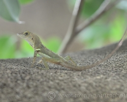 Trinidad anole enjoy staying on the trunk of trees. Well climbs, jumps catches insects.