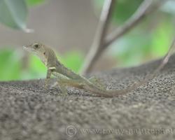 Trinidadský anolis sa rád zdržuje na kmeni stromov. Výborne šplhá, skáče chytá hmyz.