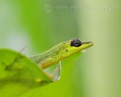 Na zelenom liste sedí, zelenou ďžungľou obklopený v zelenom fraku oblečený - karibský anolis.