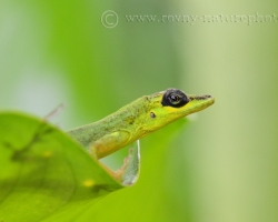 Sitting on a green leaf, surrounded by green jungle dressed in a green frock coat - Saint Vincent´s bush anole.