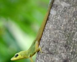 Pri lezení a skokoch používa tento anolis veľmi dlhý chvost ako kormidlo a špeciálnu nohu.