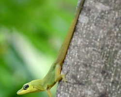 When climbing and jumping uses this anole very long tail as a rudder and a special foot.