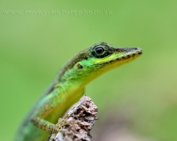 Trinidad Anole from the island of Saint Vincent makes me wild expression as a live miniature of prehistoric dinosaur.
