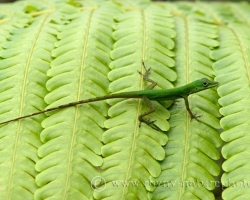 Anolis and ferns belong inherently to the island of Saint Vincent.