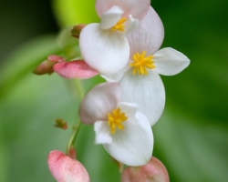 Fondly look fine begonia flowers