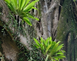 Bromeliads found a way how to survive on the trees.
