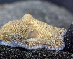 Menší druh chobotnice (do 50cm) vyskytujúci sa v Karibiku. Chobotnica na obrázku je mláďa.