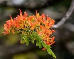 Rozprávkový strom pôvodom z Madagaskaru skrášľuje svojim nádherným zjavom mnohé tropické oblastí
