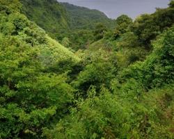 Od vrcholu až po pobrežie mora pokrývajú bujné rastliny živené úrodnými sopečnými tufmi a dažďami každý kúsok zeme.