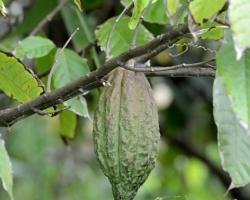 Kakaovník pravý (Theobroma cacao) je vždyzelený strom z čeľade Slezovité (alternatívne Sterkuliovité), ktorý dorastá do výšky 5 až 8 metrov.[1] Pochádza z hlbokých tropických oblastí Ameriky, kde je doložené jeho pestovanie už v 5. storočí.[1] V dnešnej dobe sa pestuje v tropických oblastiach celého sveta. Jeho semená sú používané na výrobu kakaového prášku, z ktorého sa vyrába čokoláda.