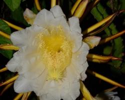 Tieto v noci kvitnúce kaktusy pestujú v Richmond Vale Academy vedĺa nášho ubytovania. Mali sme šťastie v jednu noc zakvitli svojimi skoro 30cm veľkými kvetmi. Mali sme možnosť ochutnať aj ich báječné vysoko cenené plody.