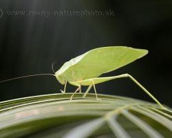 Katydid of the genus Microcentrum from the Saint Vincent island. May be Microcentrum rhombifolium.