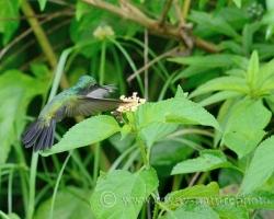 Počas krátkej návštevy ostrova Saint Vincent sa chúťky kolibríkov antiských chochotalých rýchlo menili podľa toho čo nové z kvietkov práve najviac rozvoniavalo.