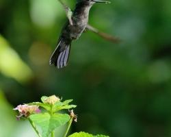 Kolibrík sa pohybuje v ovzduší veľmi obratne všetkými smermi.