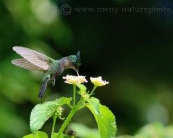 Keď pozoruješ kolibríka cítiš sa ako v ríši zázrakov, a je to tak - tento dar ktorý sme dostali je naozaj zázrak.
