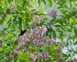 Tentoraz sa kolibríki hostili v ružových kvetoch vysokého stromu troška podobnému nášmu agátu.