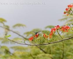 Kolibrík antilský chocholatý na kvete Delonix regia.