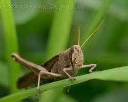 Big unknown grasshopper from Saint Vincent