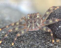 Krab živiaci sa najmä drobnými nárastmi na kameňoch.