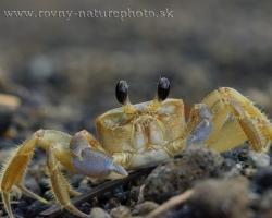 Krab Ocypode quadrata patrí k pobrežným krabom tropických a subtropických oblastí. Vyhrabáva si dieru v piesku prílivovej zóny. Tento na fotografii tiež zapózoval pred svojim podzemným úkrytom.