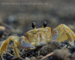 Ghost crabs are semi-terrestrial crabs of the subfamily Ocypodinae. They are common shore crabs in tropical and subtropical regions throughout the world, inhabiting deep burrows in the intertidal zone. They are generalist scavengers and predators of small animals.