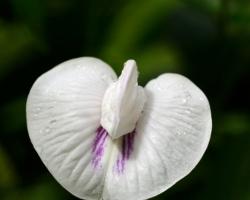 Biely kvet z džungle ......