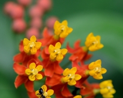 It is native to the American tropics. Is known udner common names as Mexican Butterfly Weed also Blood-flower, Scarlet Milkweed or, Tropical Milkweed is typical