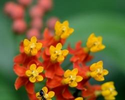 """Rastliny na fotografii - Asclepias curassavica pochádza z trópov Ameriky. Jej kvety vyhľadávajú motýle, preto má v angličtine názov aj """"motýlia rastlina""""."""