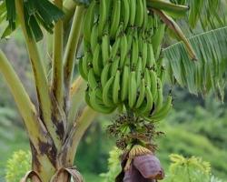 Banánovník (Musa) je rod bylín z čeľade banánovníkovitých (Musaceae). Zahŕňa ako malé druhy veľké len niekoľko desiatok centimetrov, tak aj zástupcov vyšších bylín (až 16 metrov). Plody banánovníka, banány sú žiadanou potravinou, kvôli ktorej boli zástupcovia čeľade Musa skultúrnené a rôzne šľachtené. Okrem veľmi dobre známych mäkkých a sladkých odrôd banánov tu patria aj príbuzné škrobovité banány na varenie (plantain). Na tropickom ostrove Saint Vincent som videl veľa banánových plantáží.