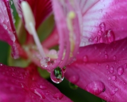 """Po daždi som fotil kvety nádherného stromu Bauhinia variegata. V angličtine má názov orchid tree teda """"orchideový strom""""."""