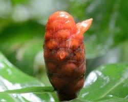 Jeden z mála veľkých kvetov v tropickom lese patril rastline Costus spiralis.