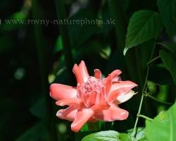 Mnoho krásnych kvetov z celého tropického sveta obveseľuje návštevníkov botanickej záhrady v hlavnom meste Kingstown. Na fotografii je jeden z najúžasnejších - červený zázvor -Etlingera elatior. Kvet pôsobí ako uliaty z ružového vosku.