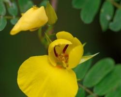 Rebríčkové lískty zdoba drobné žlté kvietky.