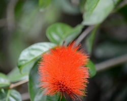 Mnoho krásnych kvetov z celého tropického sveta obveseľuje návštevníkov botanickej záhrady v hlavnom meste Kingstown.