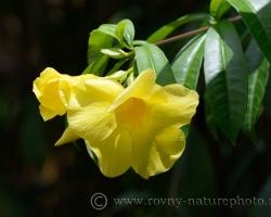 Mnoho krásnych kvetov z celého tropického sveta obveseľuje návštevníkov botanickej záhrady v hlavnom meste Kingstown. Patril k nim aj kvietok na fotografii druhu Allamanda cathartica, ktorý je v angličtine známy tiež ako Golden tumpet.