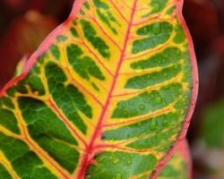 Listý krotónovca strakatého žiaria v tropickom ovzduší ako zapálená farebná prskavka. S farbami rastlín čo pestujeme doma sa to nedá ani porovnať.