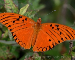 Beautiful butterfly from the island of Saint Vincent.