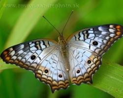Krásny modrý motýľ z ostrova Saint Vincent