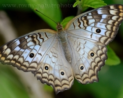 Beautiful blue butterfly from the island of Saint Vincent