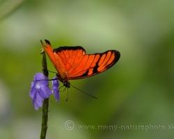 Aj tento oranžový motýľ patrí tiež k tomu čo zanechalo spomienky na ostrov Saint Vincent.