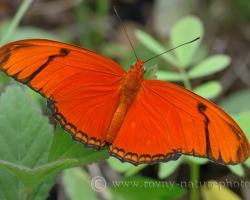 Krásny ohnivo oranžový motýľ z ostrova Saint Vincent