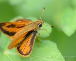Nenápadný motýľ Hylephila phyleus.