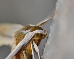 Moth from the Saint Vincent island