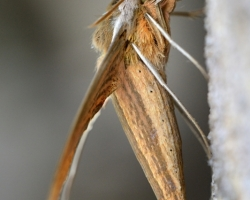 Nočný motýľ z ostrova Saint Vincent
