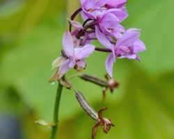 On the slopes of the volcano La Soufriere is possible to find this purple orchid.