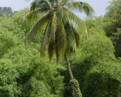Bambusy na ostrove nie sú pôvodné, výborne sa im darí, dosahujú výšku paliem.